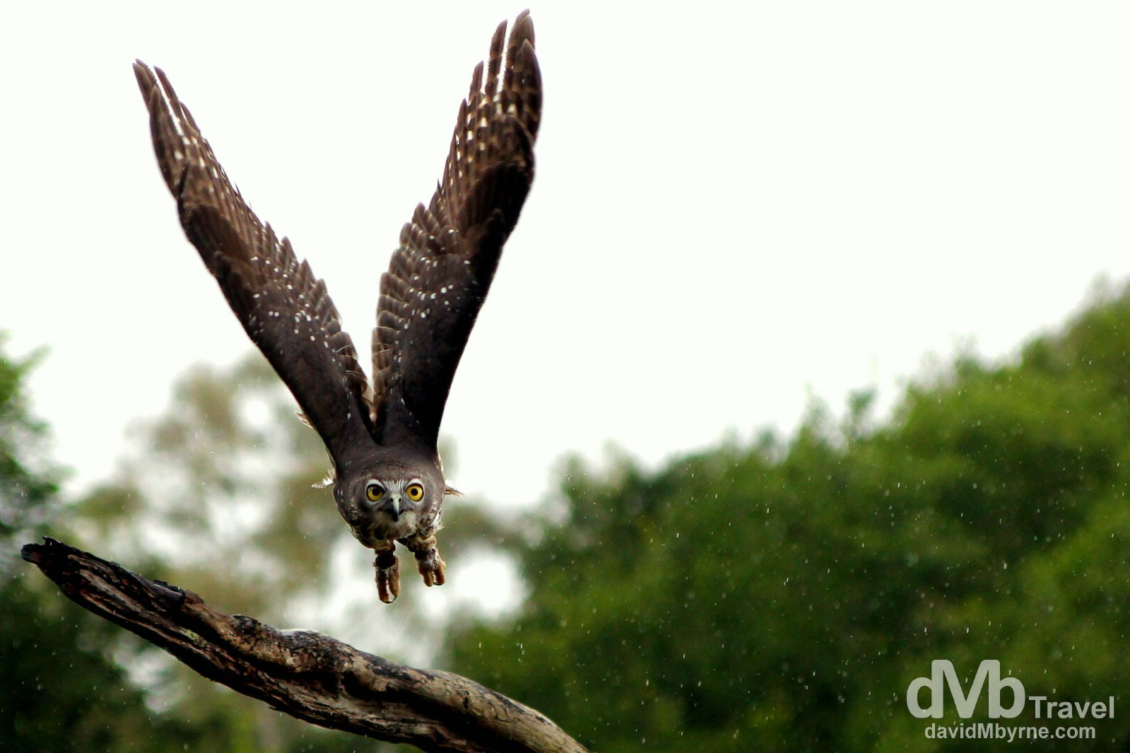 A barking owl in flight in light rain during the Birds of Prey demonstration at the Lone Pine Koala Sanctuary, Brisbane, Queensland, Australia. April 15th 2012.