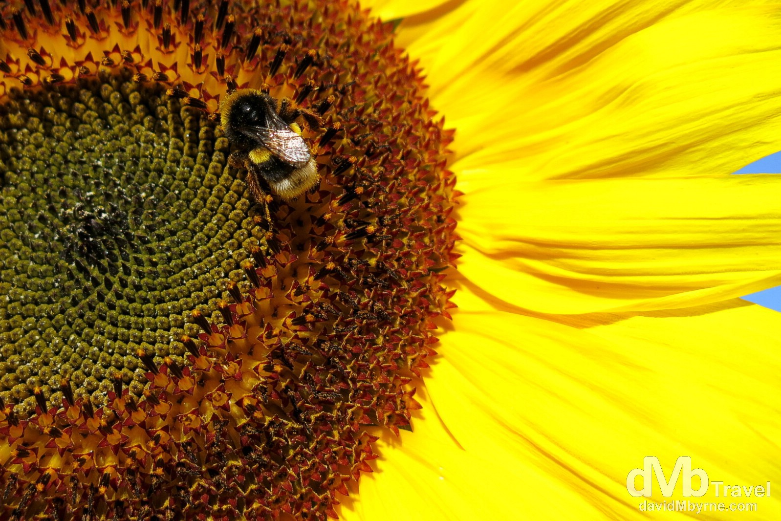 A bee resting on a sunflower in the estate of Quinta de Sant'Ana in the hills above Gradil, Mafra, Portugal. August 23rd 2013.