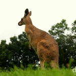 A kangaroo in Lone Pine Koala Sanctuary, Brisbane, Queensland, Australia. April 15th 2012.
