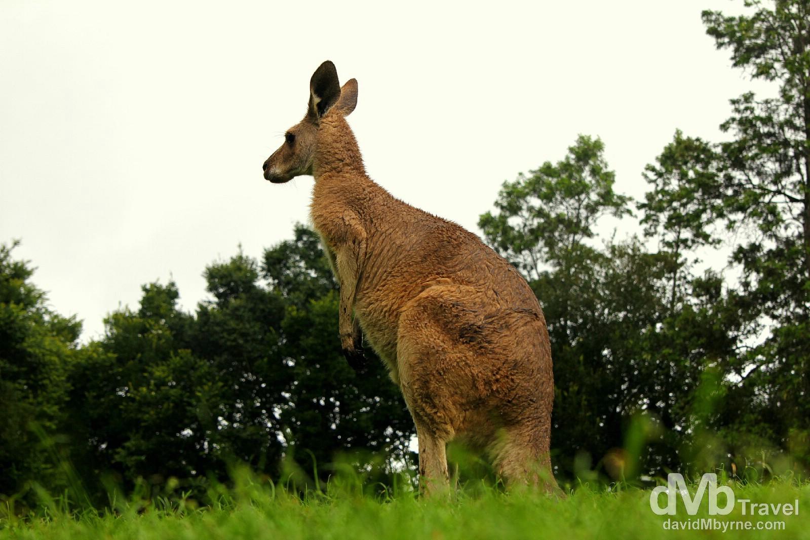 A kangaroo in Lone Pine Koala Sanctuary, Brisbane, Queensland, Australia. April 15th 2012.