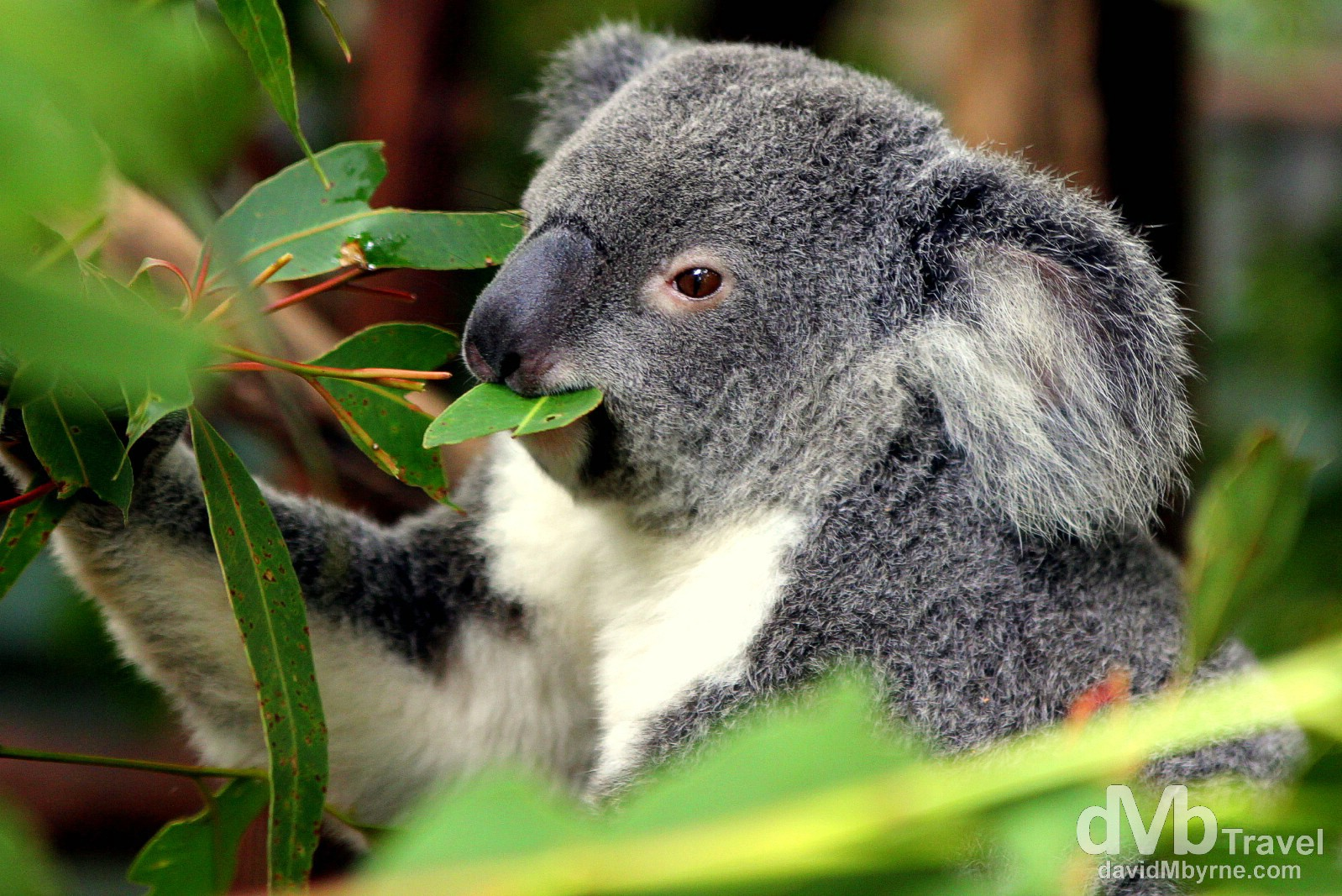 Feeding time at the Lone Pine Koala Sanctuary on the outskirts of Brisbane, Queensland, Australia. April 15th 2012.