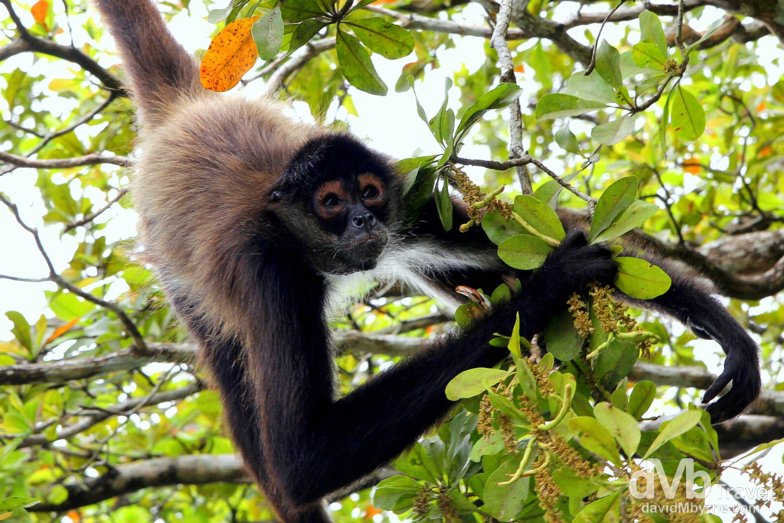 A monkey hangs from overhanging vegetation on the New River, Central Belize. May 11th 2013.