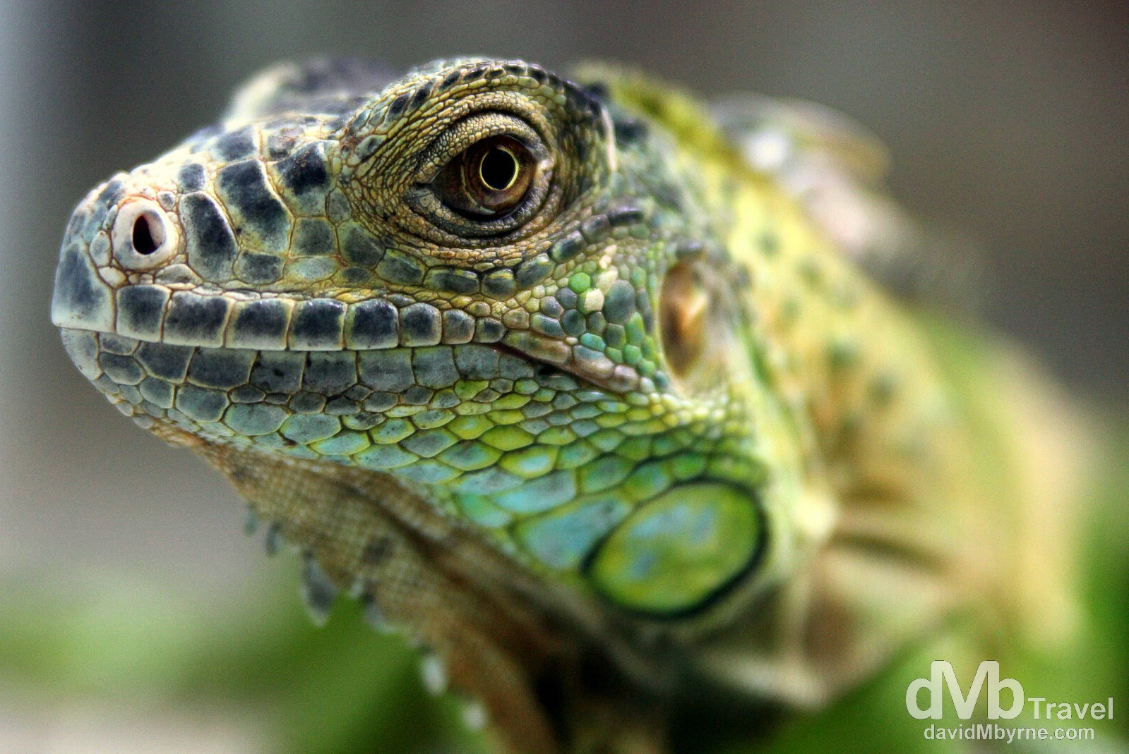 An iguana in the Snake Farm of the Temple of The Azure Cloud (aka The Snake Temple), Penang, Malaysia. March 24th 2012