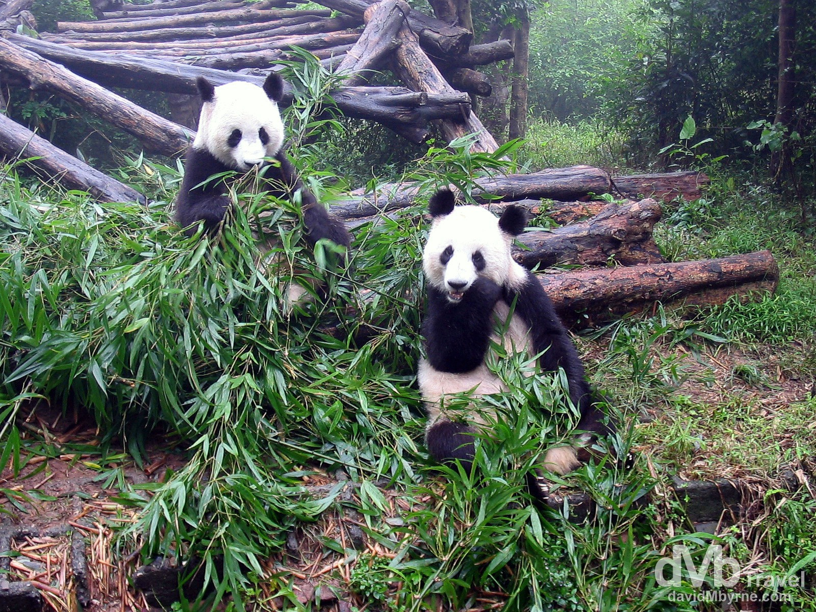 Pandas feeding at the Panda Breeding Centre in Chengdu, Sichuan Province, China. September 24th 2004.