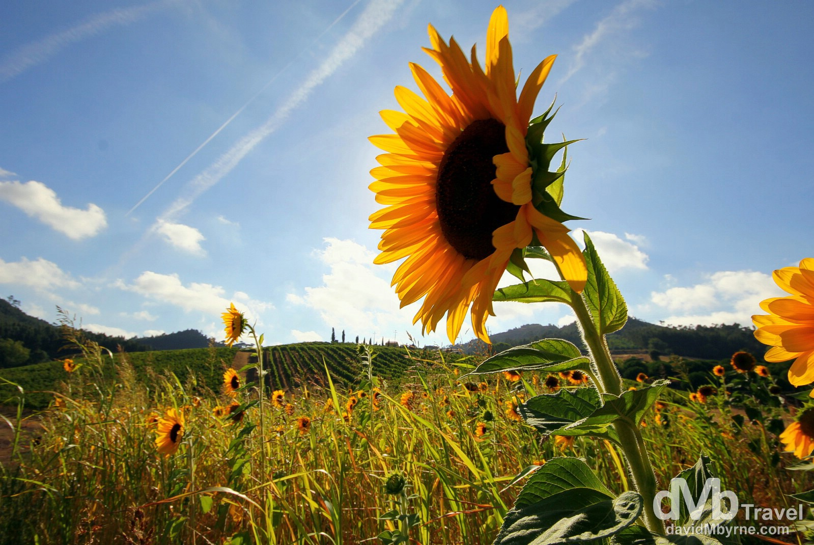 Sunflowers at sunset in the estate of Quinta de Sant'Ana in the hills above Gradil, Portugal. August 23rd 2013.