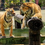 Tigers in an enclosure at Tiger Kingdom on the outskirts of Chiang Mai, northern Thailand. March 14th 2012.