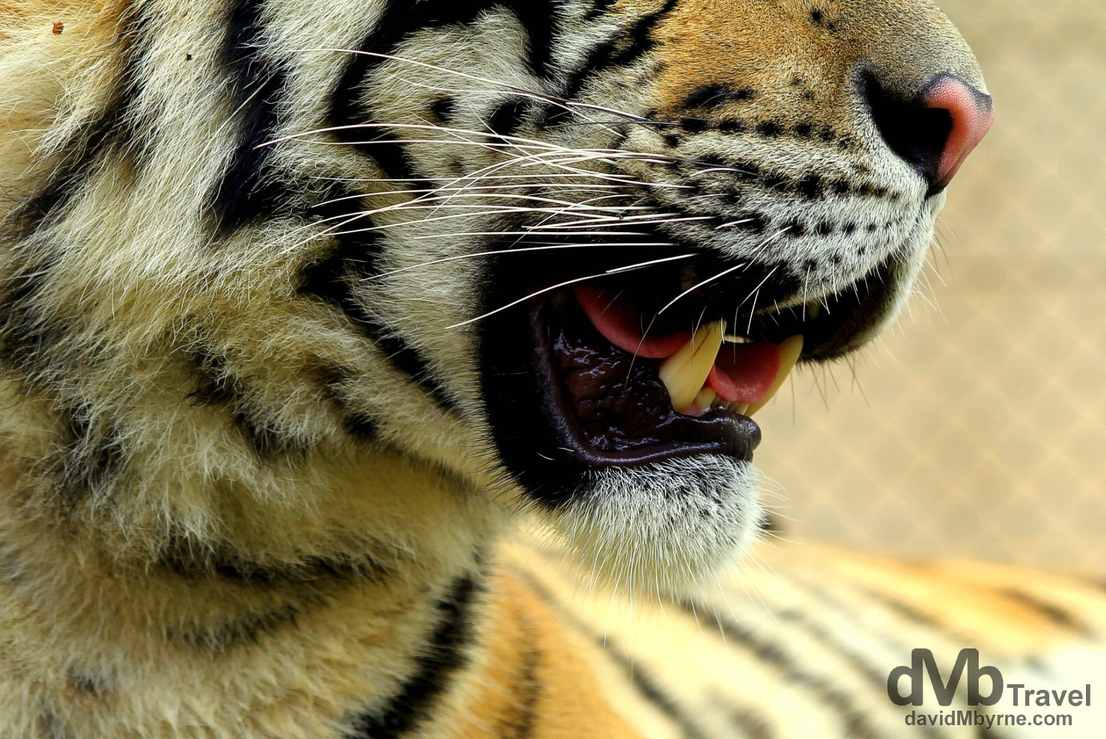 Whiskers & teeth. A tiger in Tiger Kingdom on the outskirts of Chiang Mai, northern Thailand. March 14th 2012.