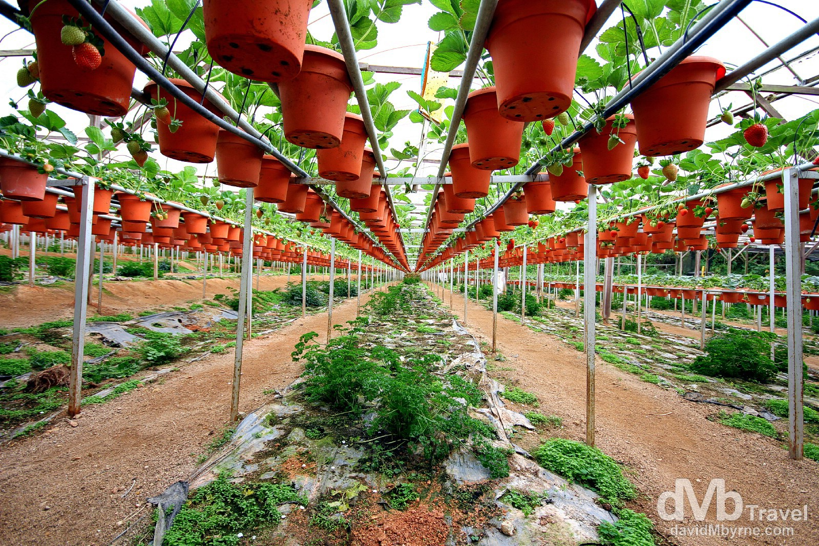 The Big Red Strawberry Farm, Cameron Highlands, Malaysia. March 26th 2012.