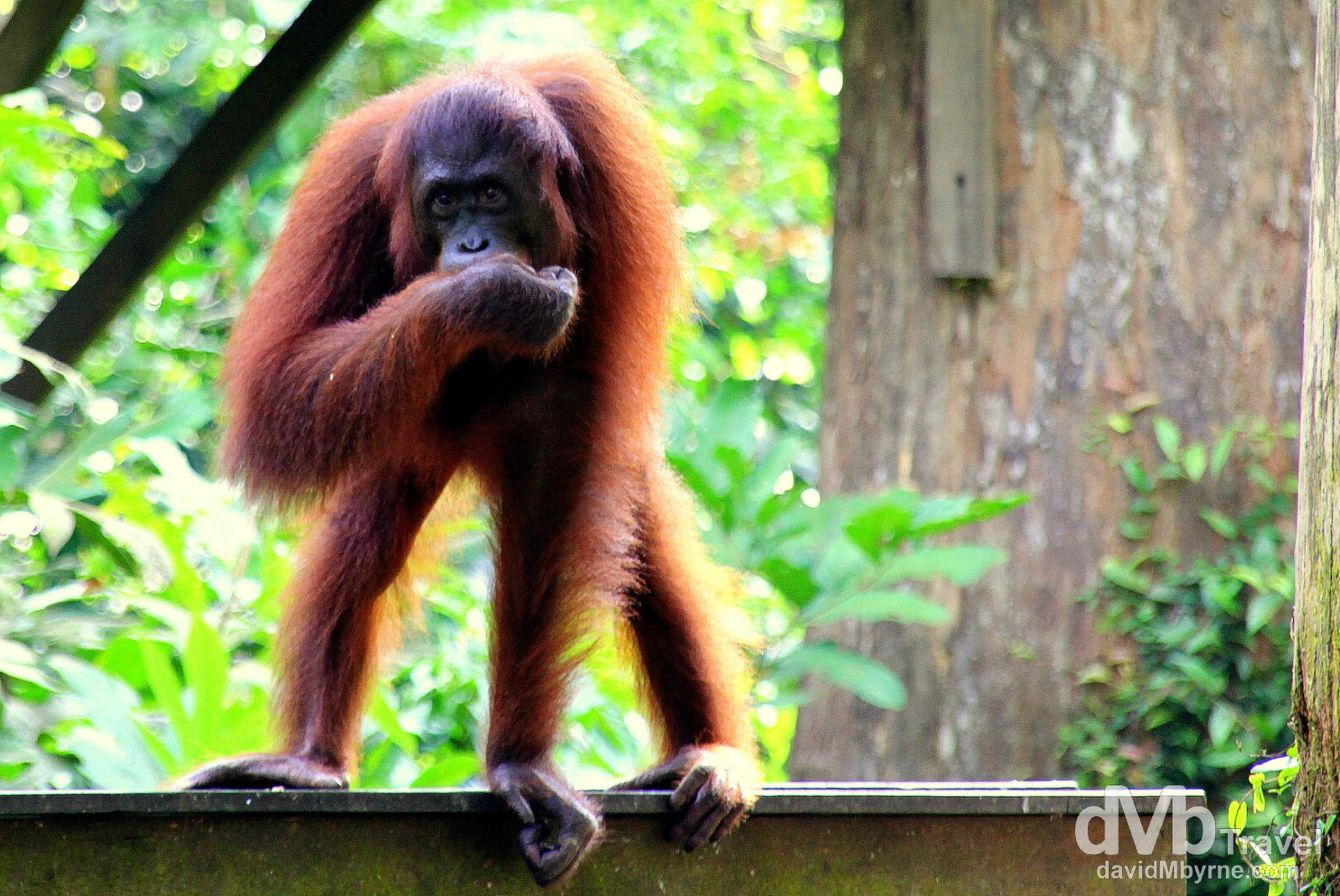 A resident at the Sepilok Orangutan Rehabilitation Centre, Sabah, Malaysian Borneo. June 26th 2012.