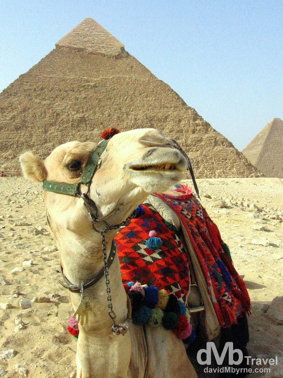 A camel on The Giza Plateau, Egypt. April 13th 2008.