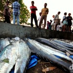 Fishing catch being analysed at the tip of Fort Cochin, Kerala, India. September 19th 2012.