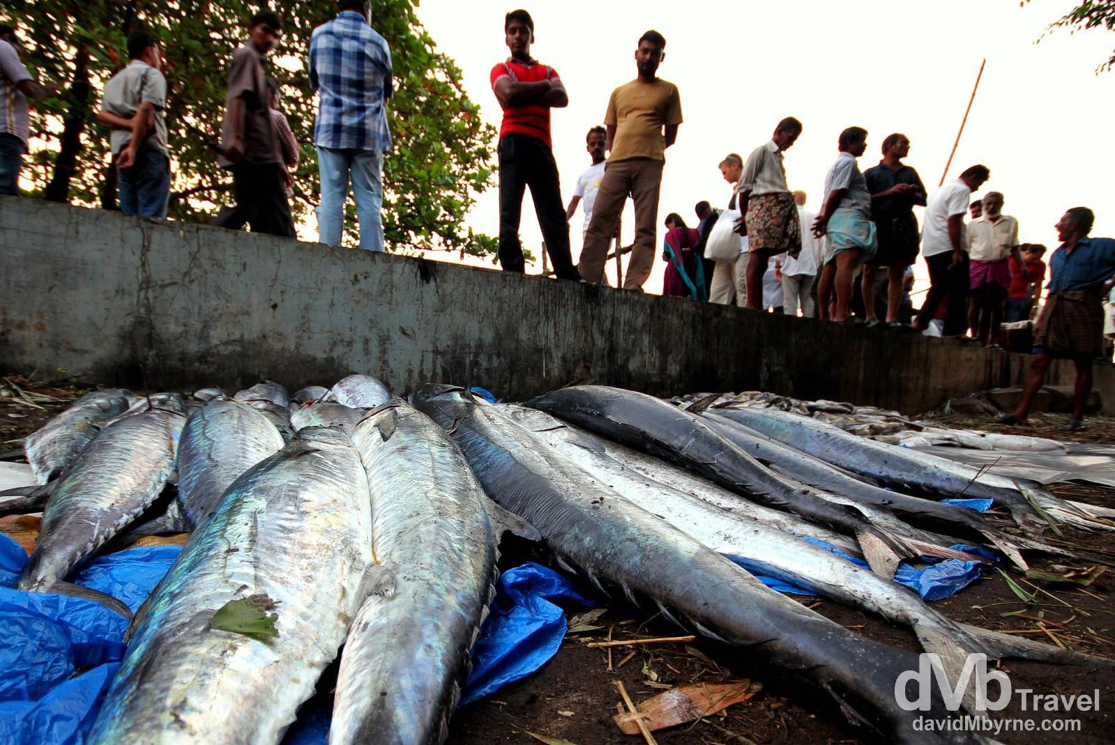 Fishing catch being analysed at the tip of Fort Kochi (Cochin), Kerala, India. September 19th 2012.