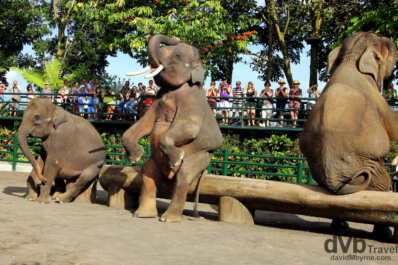 A crowd pleasing performance in the Elephant Safari Park, Taro, Bali, Indonesia. June 18th 2012.