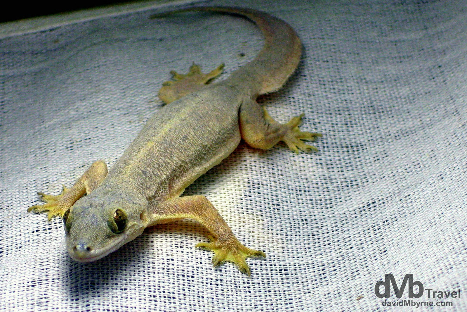 My then 3-month-old SLR was stolen on my first full day on the Philippine island of Boracay so for the rest of my time on the holiday island found myself using my IXUS point-and-shoot, including here when photographing this cute little gecko on the inside of a lampshade. Boracay Island, Philippines. September 24th 2011.