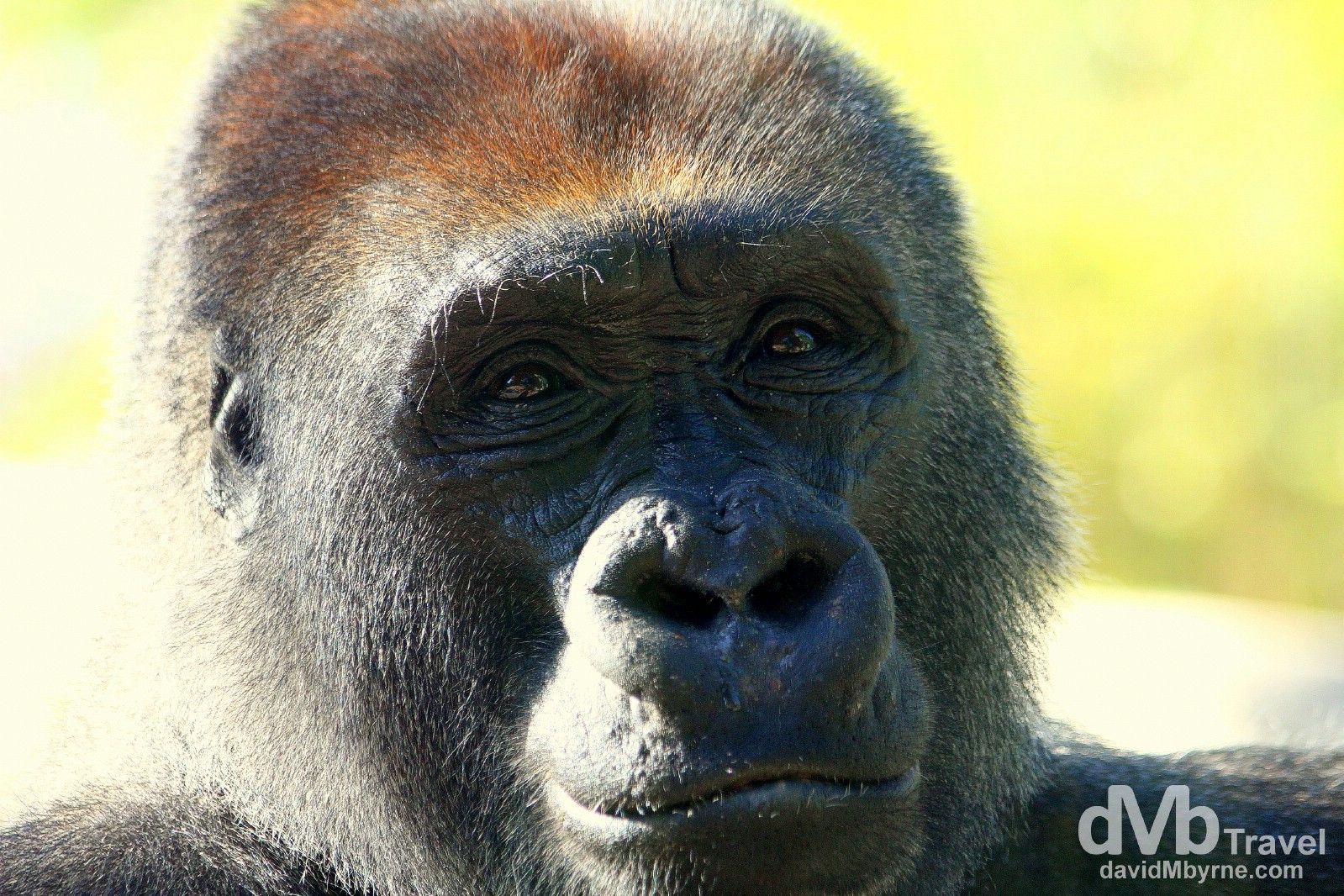 A gorilla in San Diego Zoo, California, USA. April 17th 2013.