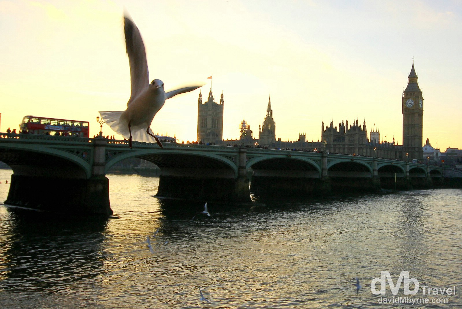 Birds flying by the banks of the River Thames with Westminster Bridge & the Houses of Parliament in the background. London, England. December 8th 2012.