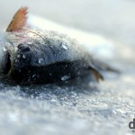 A brown trout lying on the ice at Cheongpyeong, South Korea. January 22nd 2012.