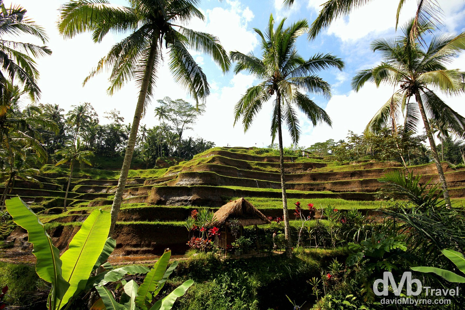 Stepped rice terraces in Ceking, Bali, Indonesia. June 19th 2012.