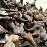 Boisterous Sea lions at Pier 39, San Francisco, California, USA. March 31st 2013.