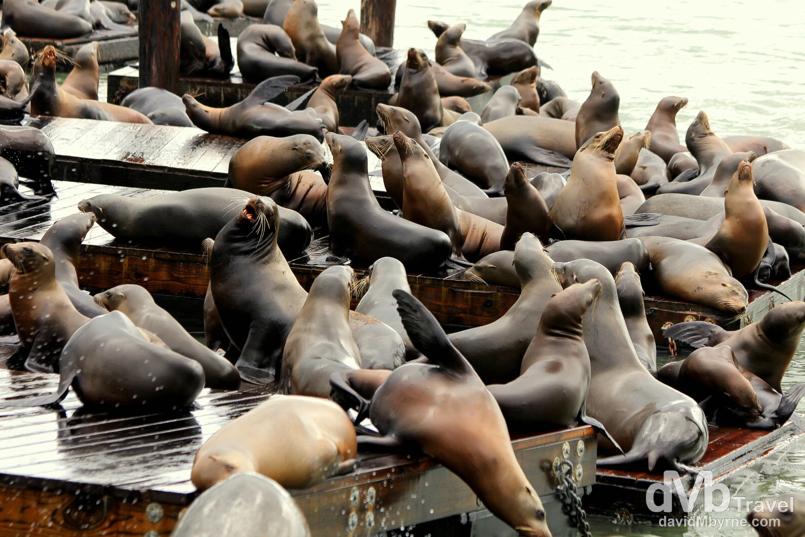 Boisterous Sea lions at Pier 39, San Francisco, California, USA. March 31st 2013.