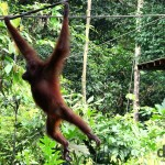 Sepilok Orangutan Rehabilitation Centre, Sabah, Malaysian Borneo. June 26th 2012.