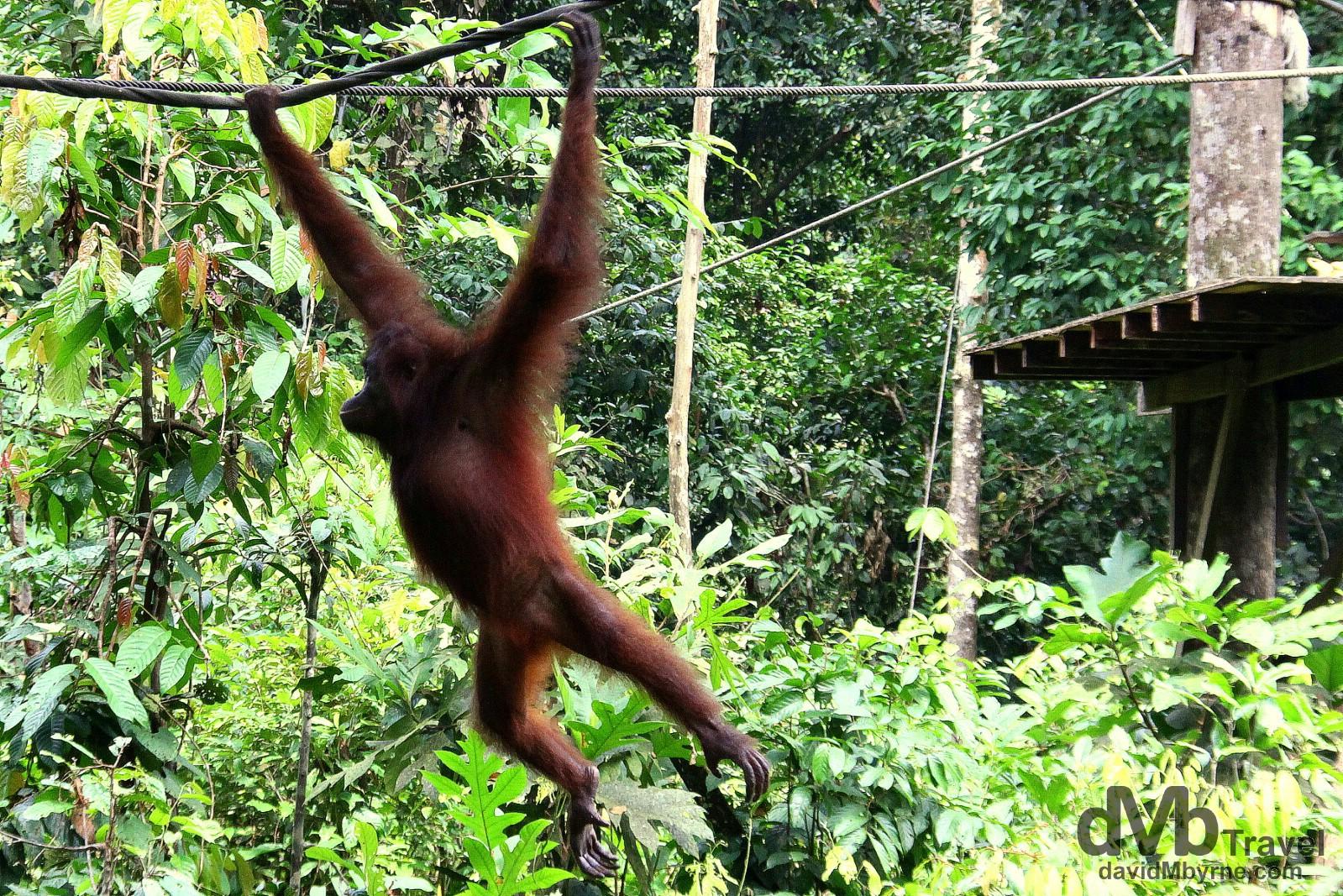 Sepilok Orangutan Rehabilitation Centre, Borneo