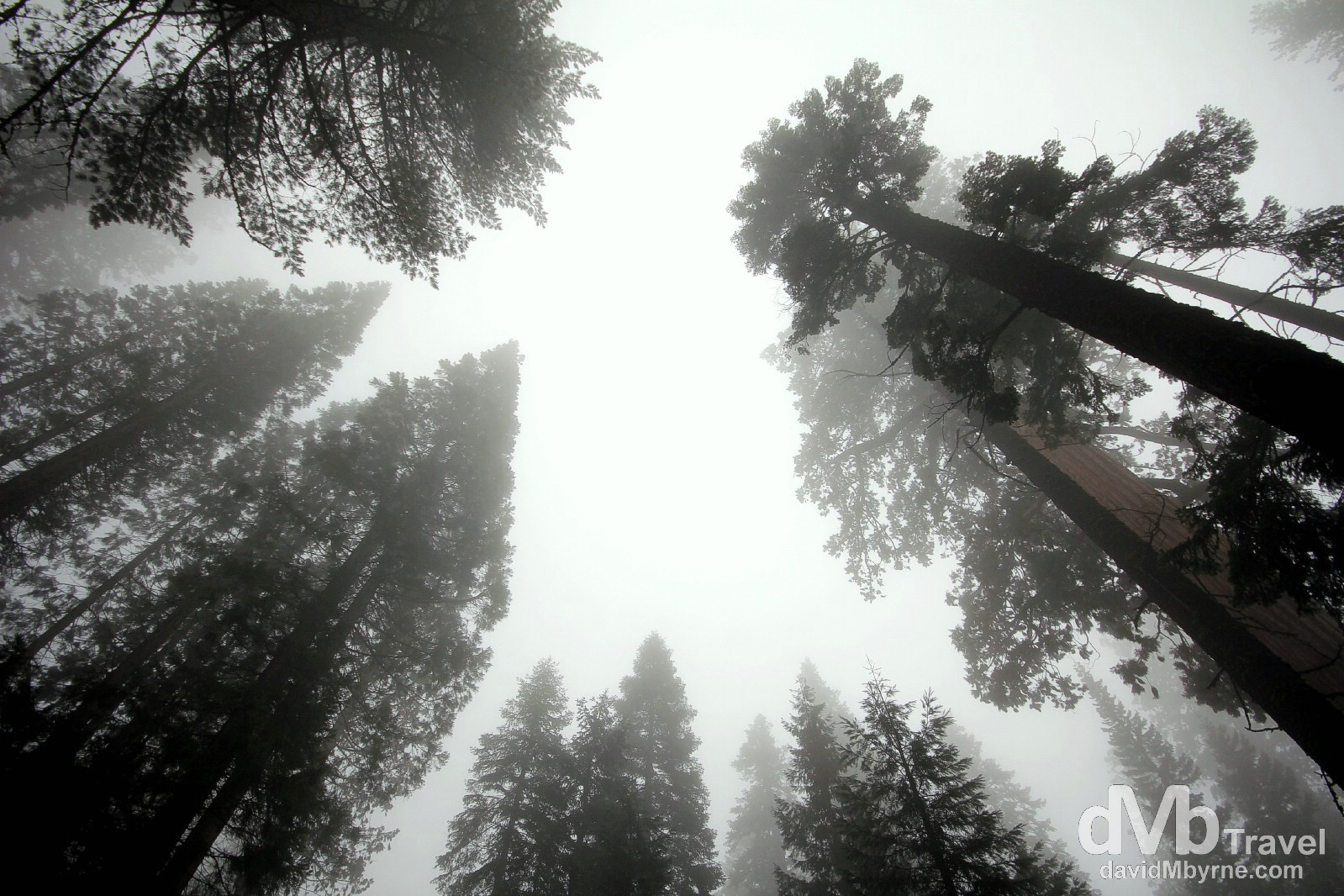 Mist & trees in Sequoia National Park, California, USA. April 2nd 2013.