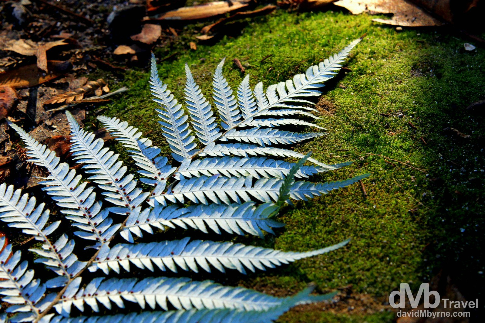 A silver fern rests on the mossy floor in a wooded section of the Hell's Gate geothermal reserve, Rotorua, North Island, New Zealand. May 5th 2012.
