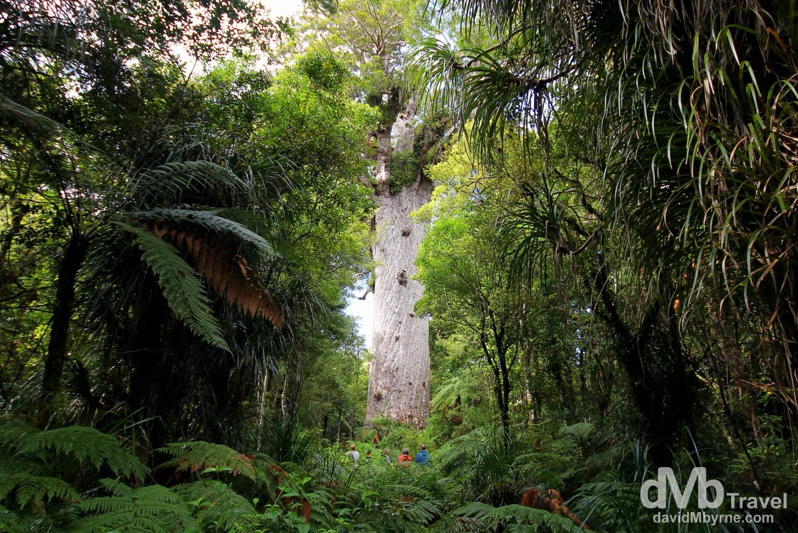 Tane Mahuta, Waipoua Kauri Forest, North Island, New Zealand. May 1st 2012.