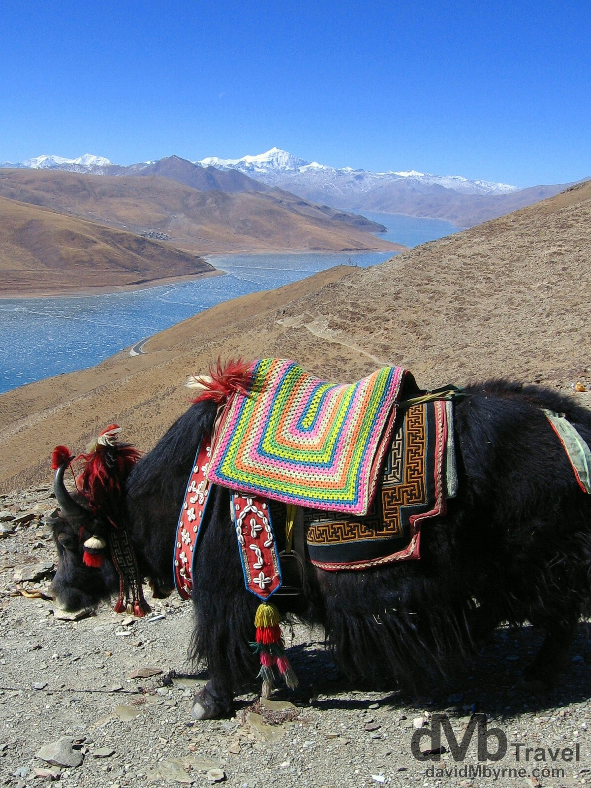 A yak on the Kamba-la pass (15,800ft, 4,794m) of the Friendship Highway overlooking a frozen Yamdrok-tso lake, Tibet. February 29th 2008.
