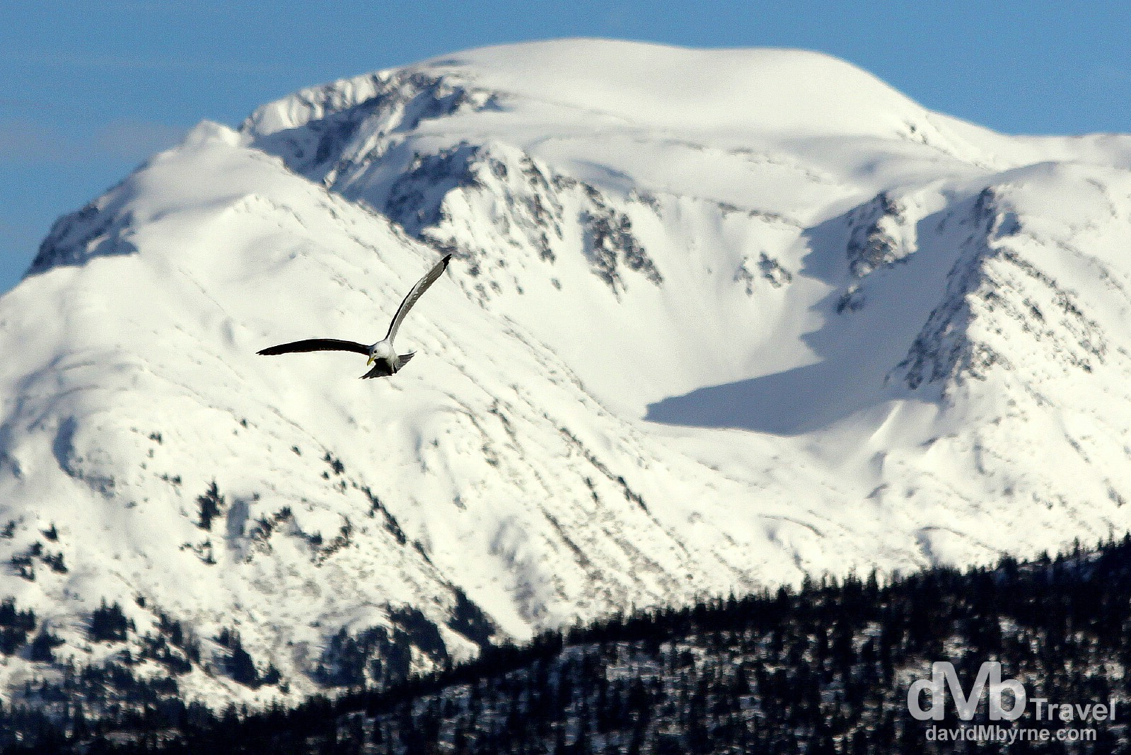 A gull soaring at the end of the Spit in Homer, Kenai Peninsula, Alaska, USA. March 16th 2013.