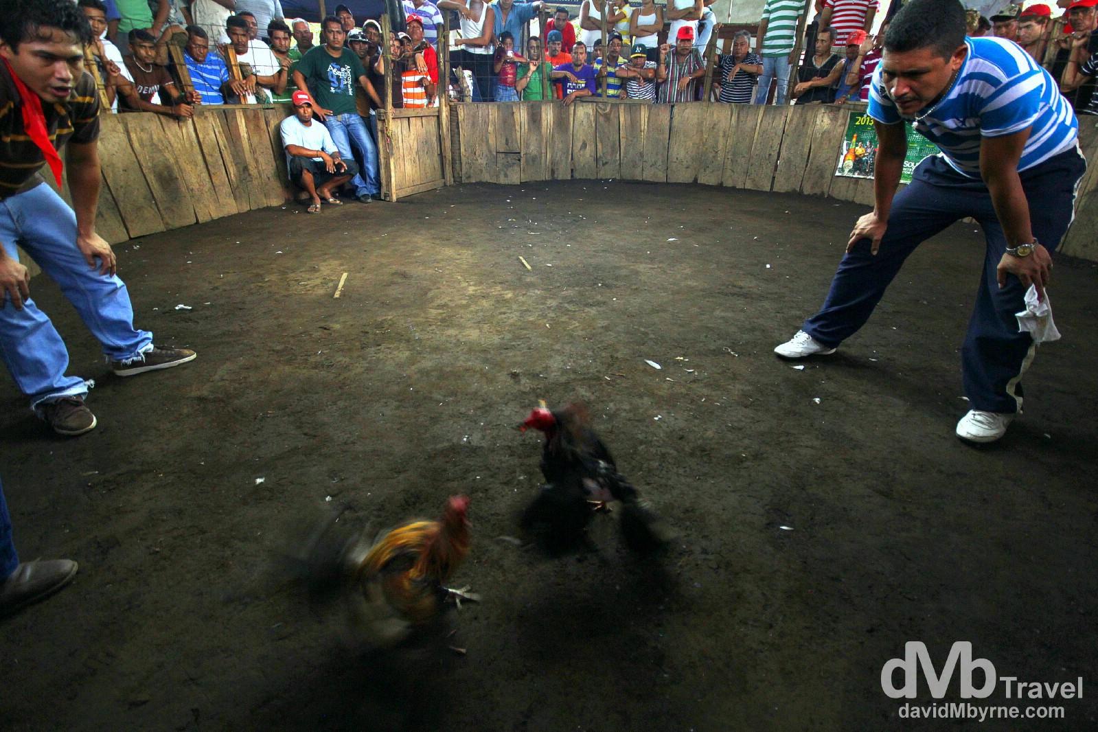 Cock fighting, Leon, Nicaragua. June 16th 2013.