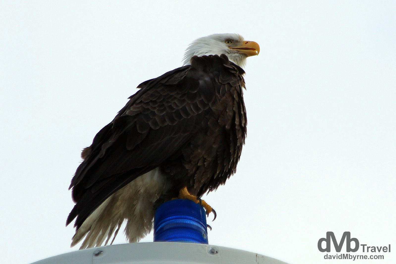 An eagle perched on a pole on the Spit in Homer, Alaska. I sat in the car under this eagle for about 10 minutes snapping him. I had the camera on him the whole time waiting for the moment he'd take flight. He never did. Patient bugger (more so than me at least). On the Spit in Homer, Kenai Peninsula, Alaska. March 16th 2013.