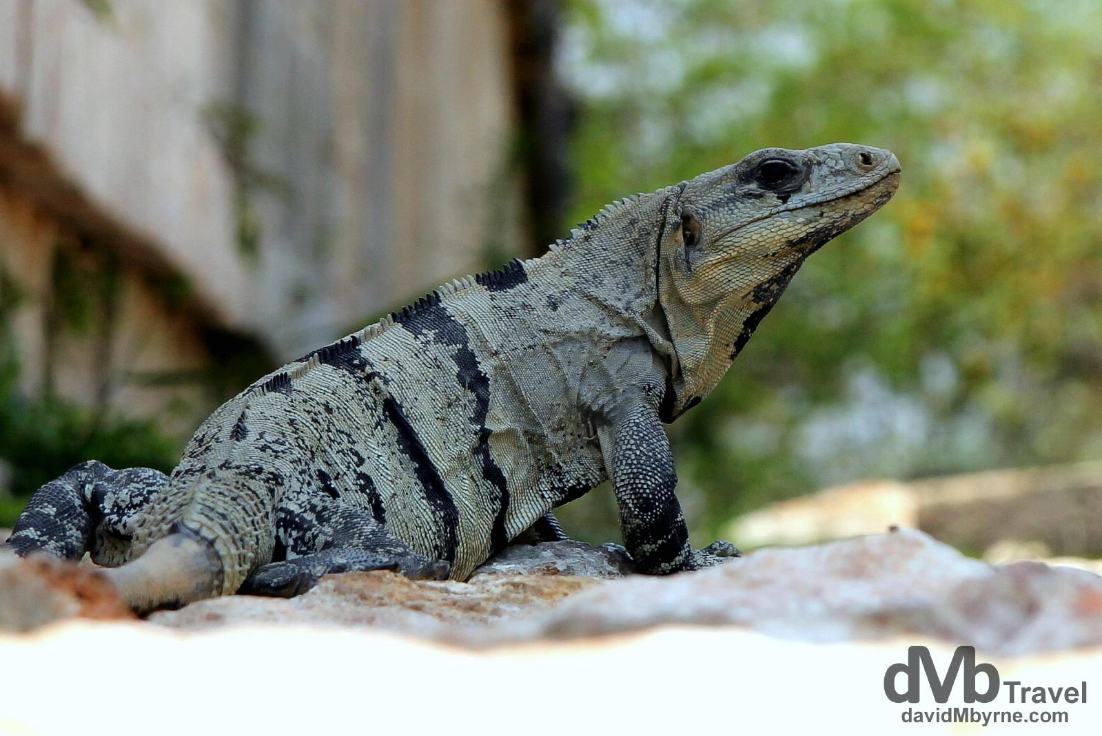 A lizard resting in the shade at the Uxmal Mayan ruins, Yucatan Peninsula, Mexico. May 2nd 2013.