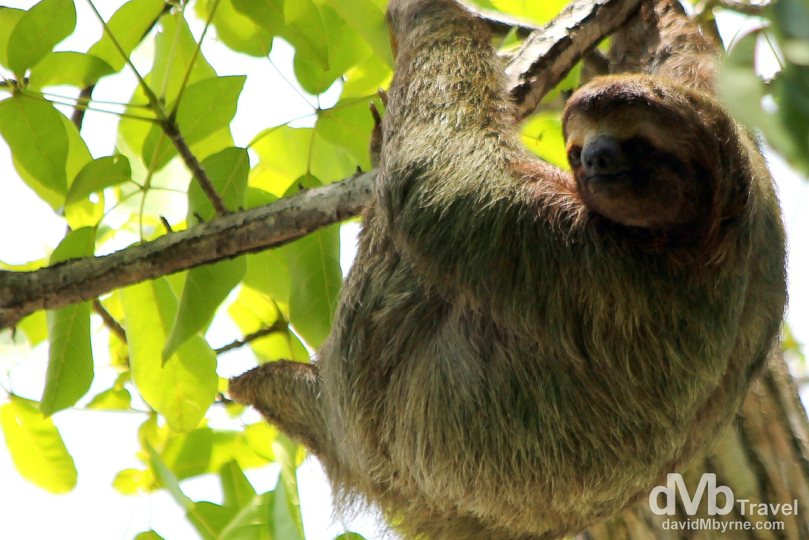A sloth high in a tree in Parque Nacional Manuel Antonio, Costa Rica. June 26th 2013.