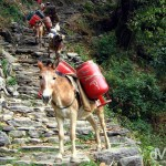 A donkey transporting goods on the trail from Birethanti to Ghandruk, Annapurna Conservation Area, Nepal. March 10th, 2008.