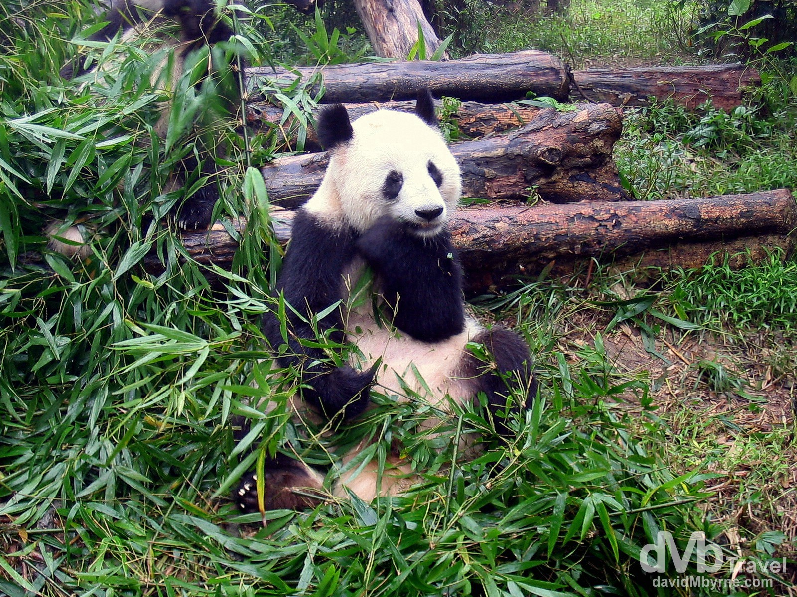 At the Chengdu Research Base of Giant Panda Breeding, Sichuan Province, Central China. September 24th, 2004.