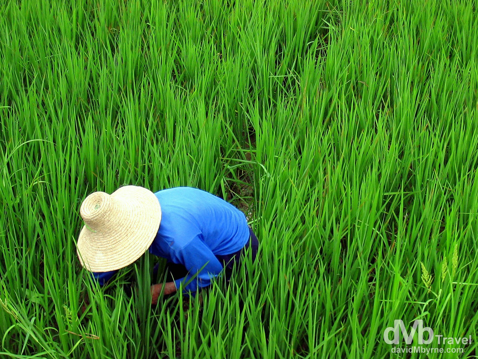 A local working in a rice paddy in the countryside outside Yangshou, Guangxi Province, Southern China. September 10th, 2004.