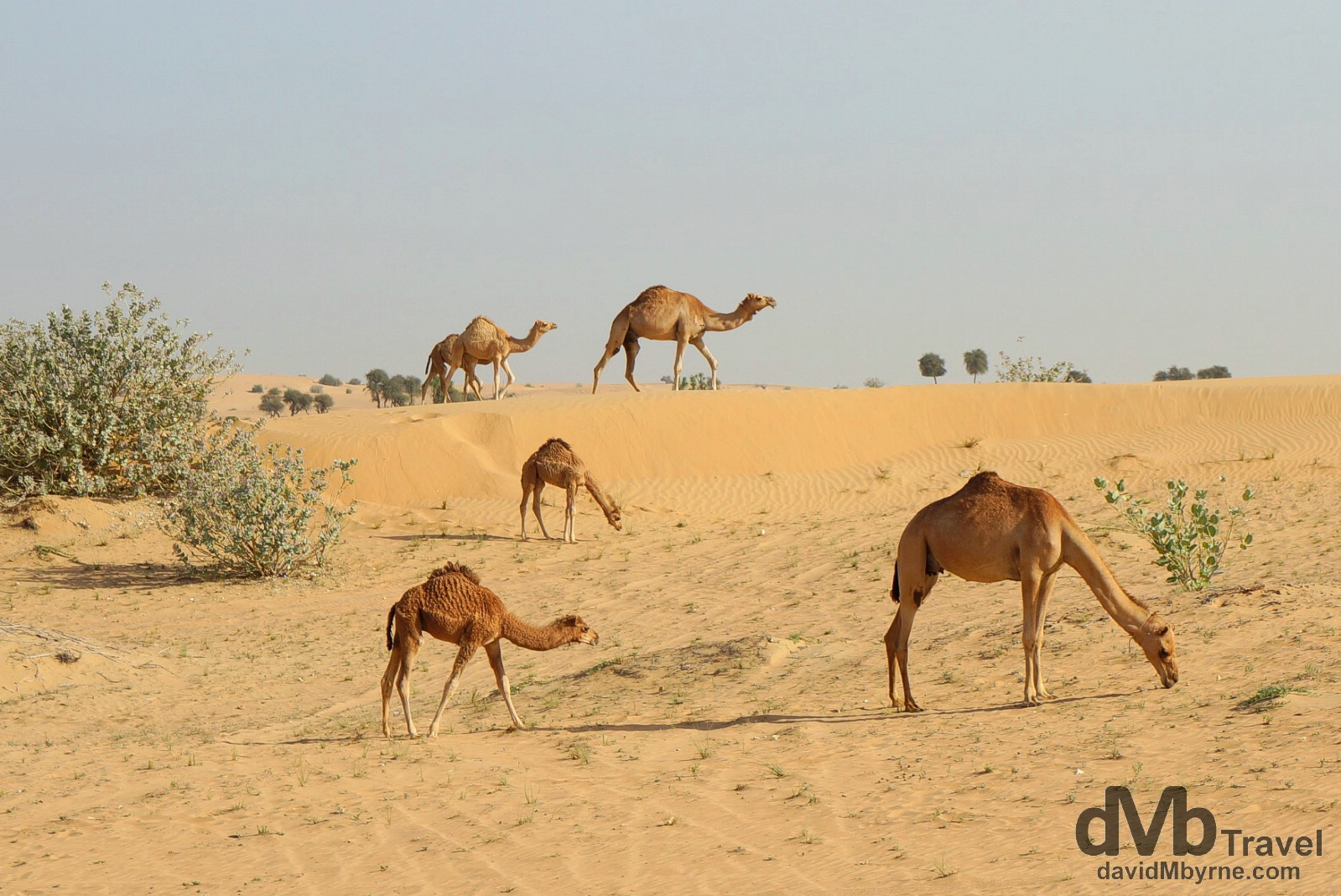 Camels on an early morning stroll in the desert outside Dubai, UAE. April 18th, 2014.