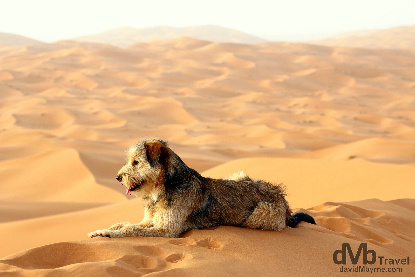A shaggy dog resting on top of a massive sand dune in the desert of Erg Chebbi, Marzouga, Morocco. May 19th, 2014.