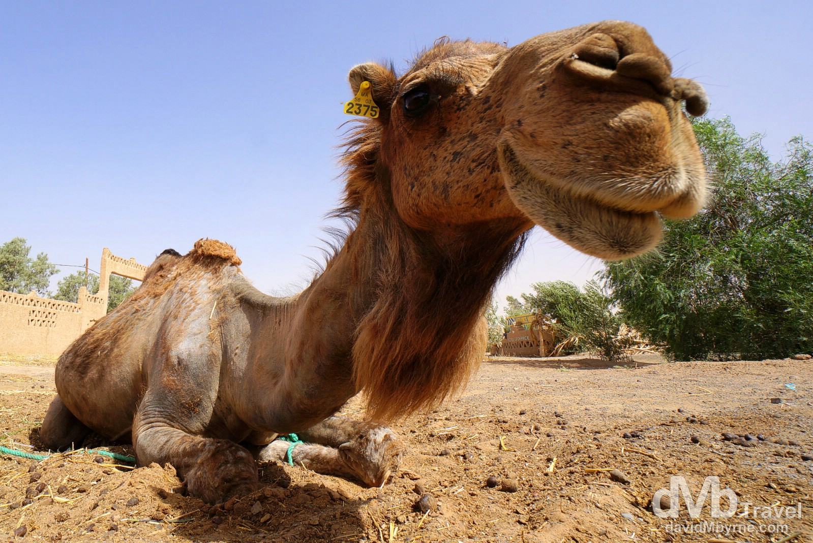 A camel in the grounds of Hotel Haven la Chance, Merzouga, Morocco. May 22nd, 2014.