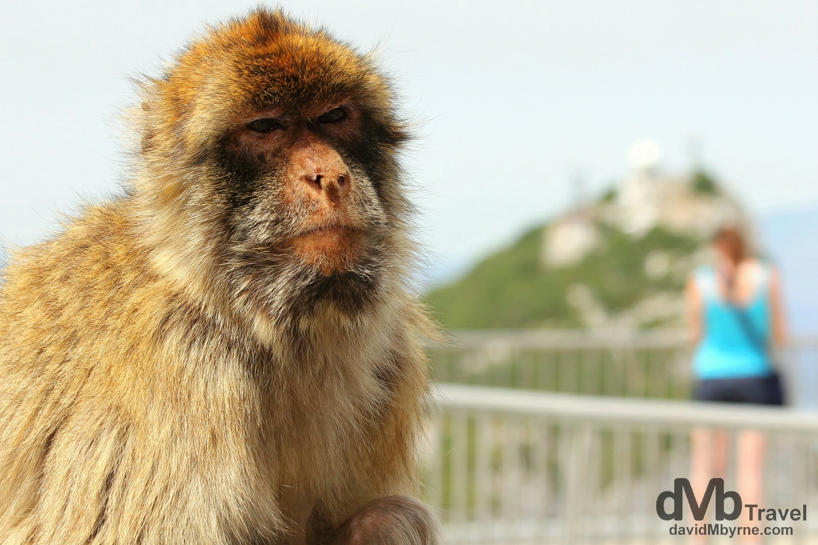 A resident Macaque monkey at The Top of The Rock viewing deck in Gibraltar. June 5th, 2014.