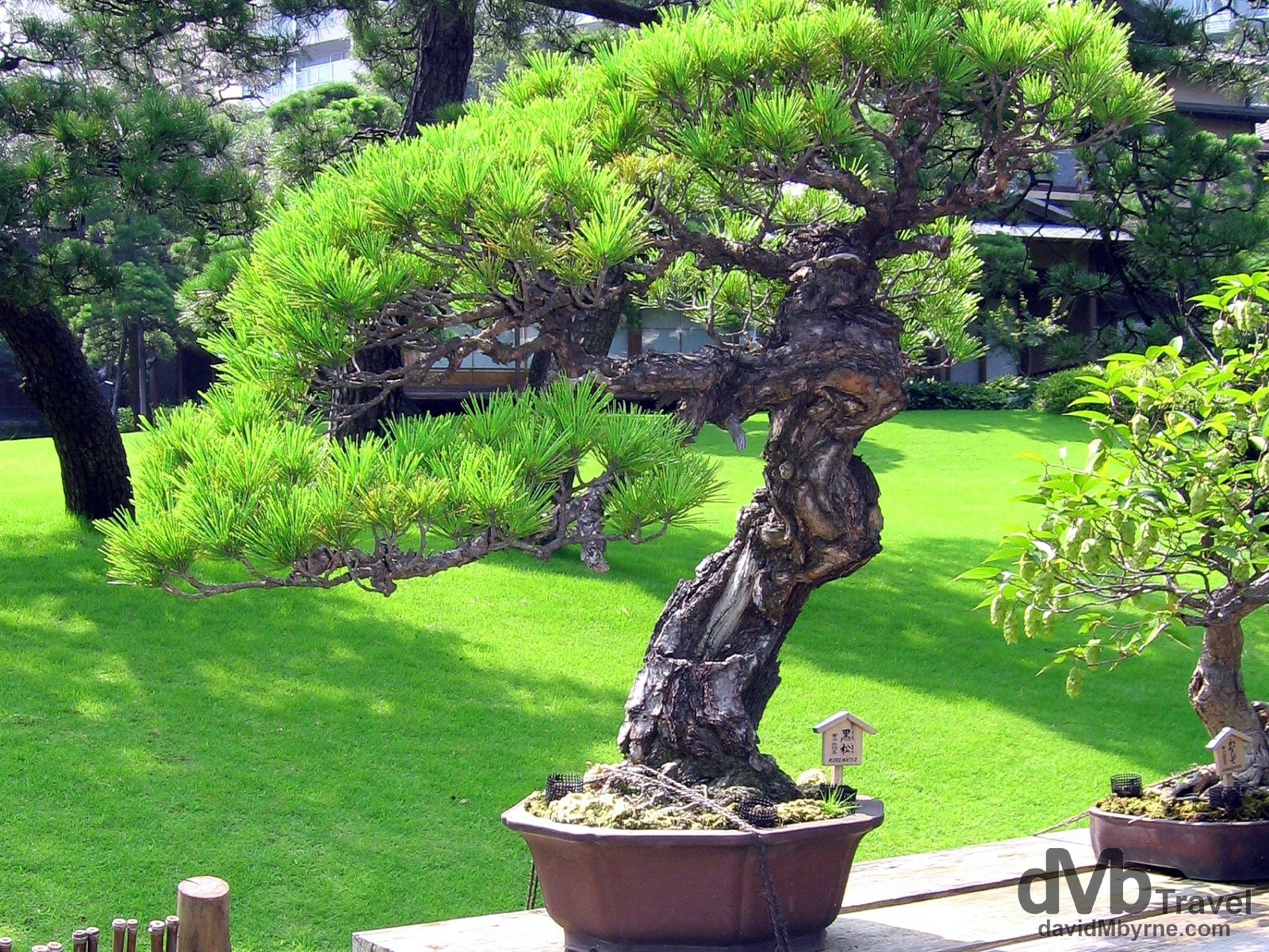 A bonsai tree in Happo-En Gardens, Tokyo, Japan. July 15th, 2005.