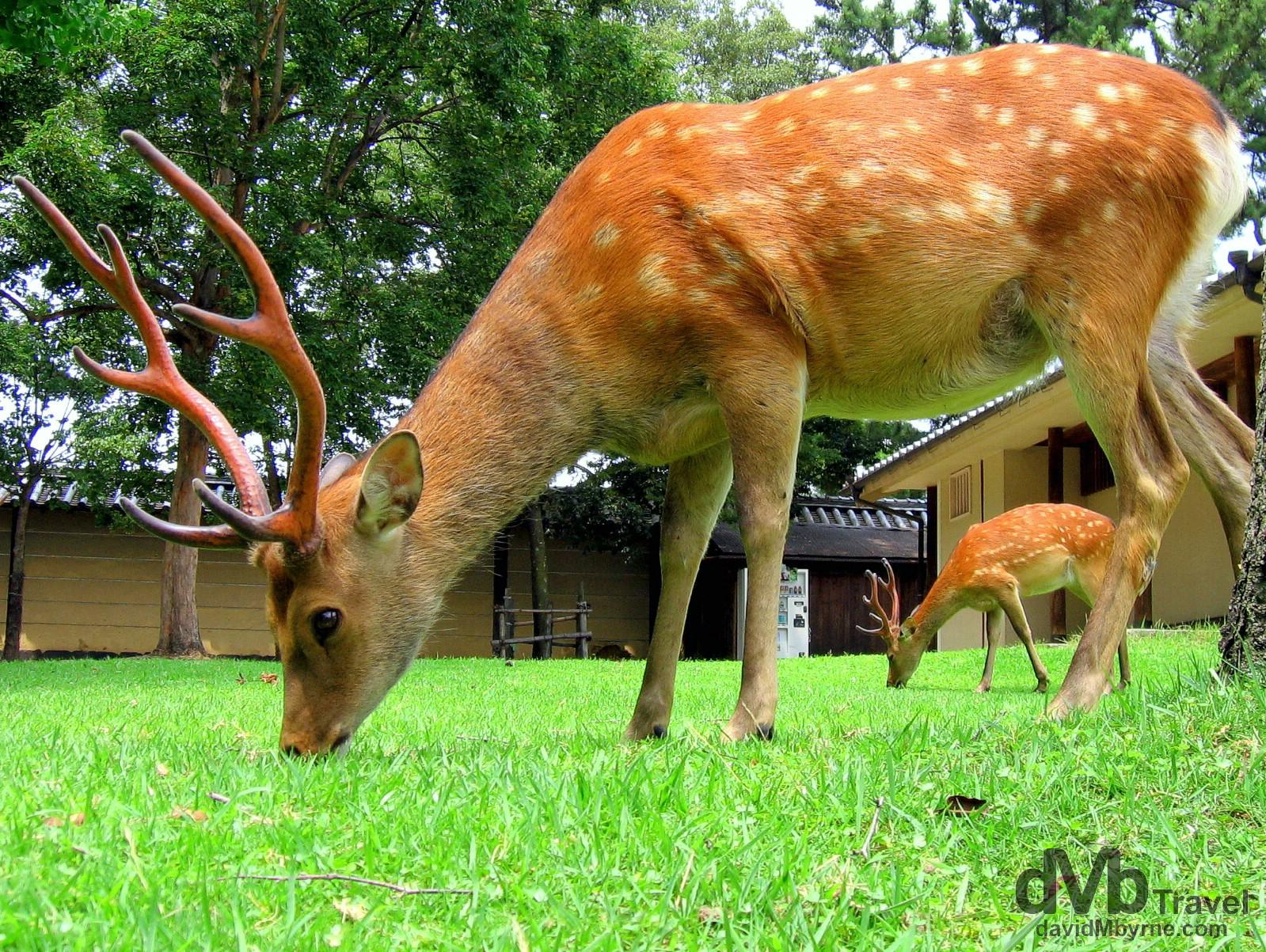 Deer grazing in Nara Koen (Park), Nara, Honshu, Japan. July 19th, 2005.
