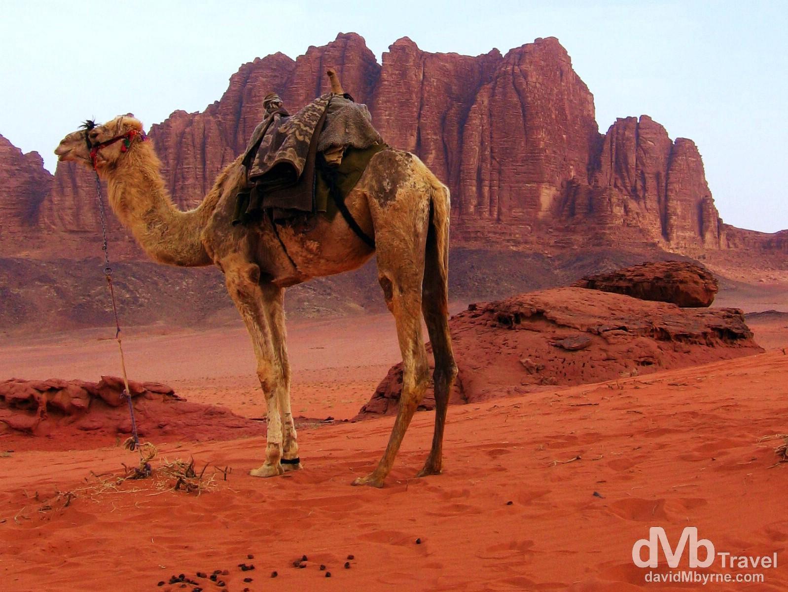 A camel in the red sands of Wadi Rum, Jordan. April 26, 2008.