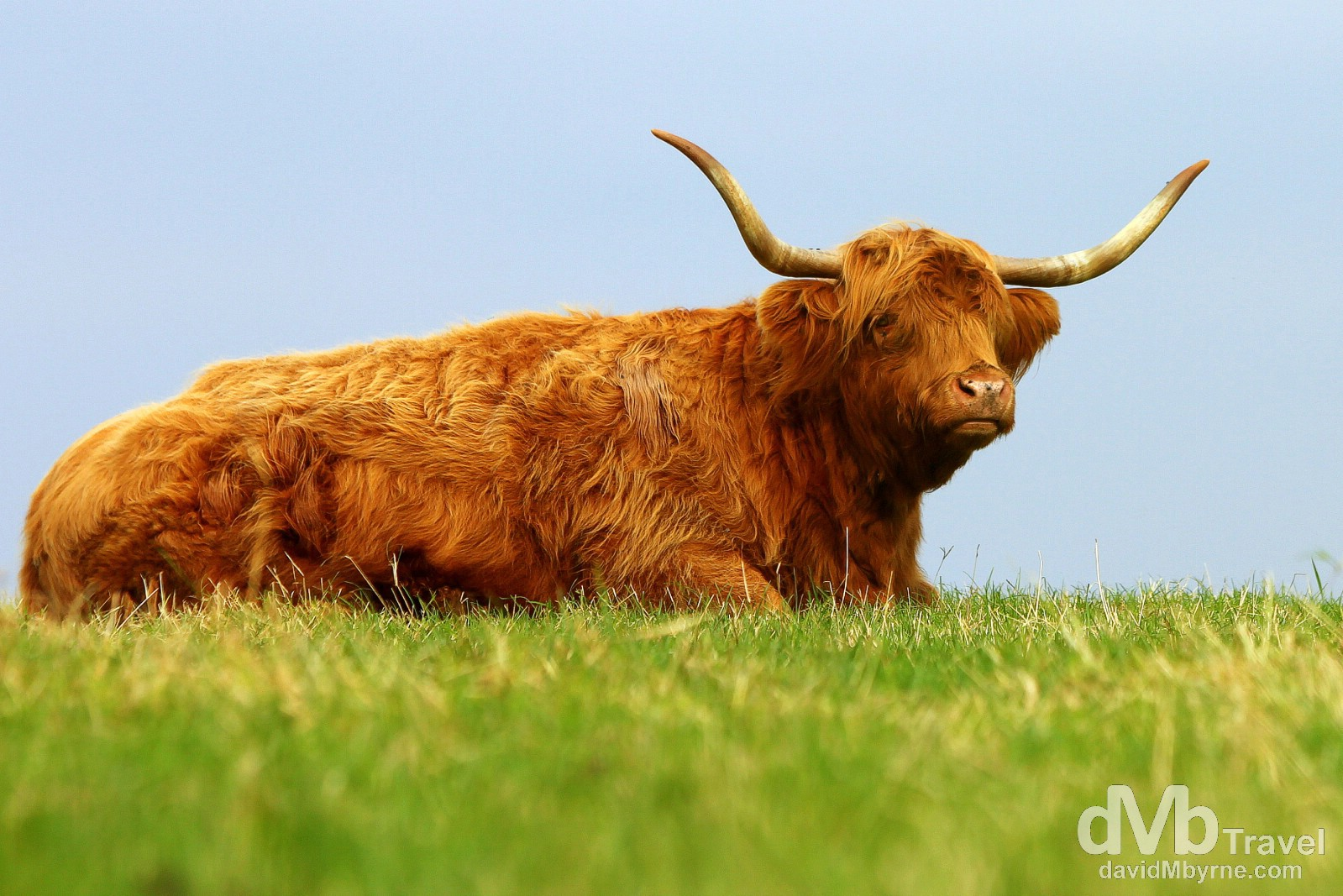 A red Highland in a field outside the village of Reay, Caithness, Highland, Scotland. September 15, 2014.