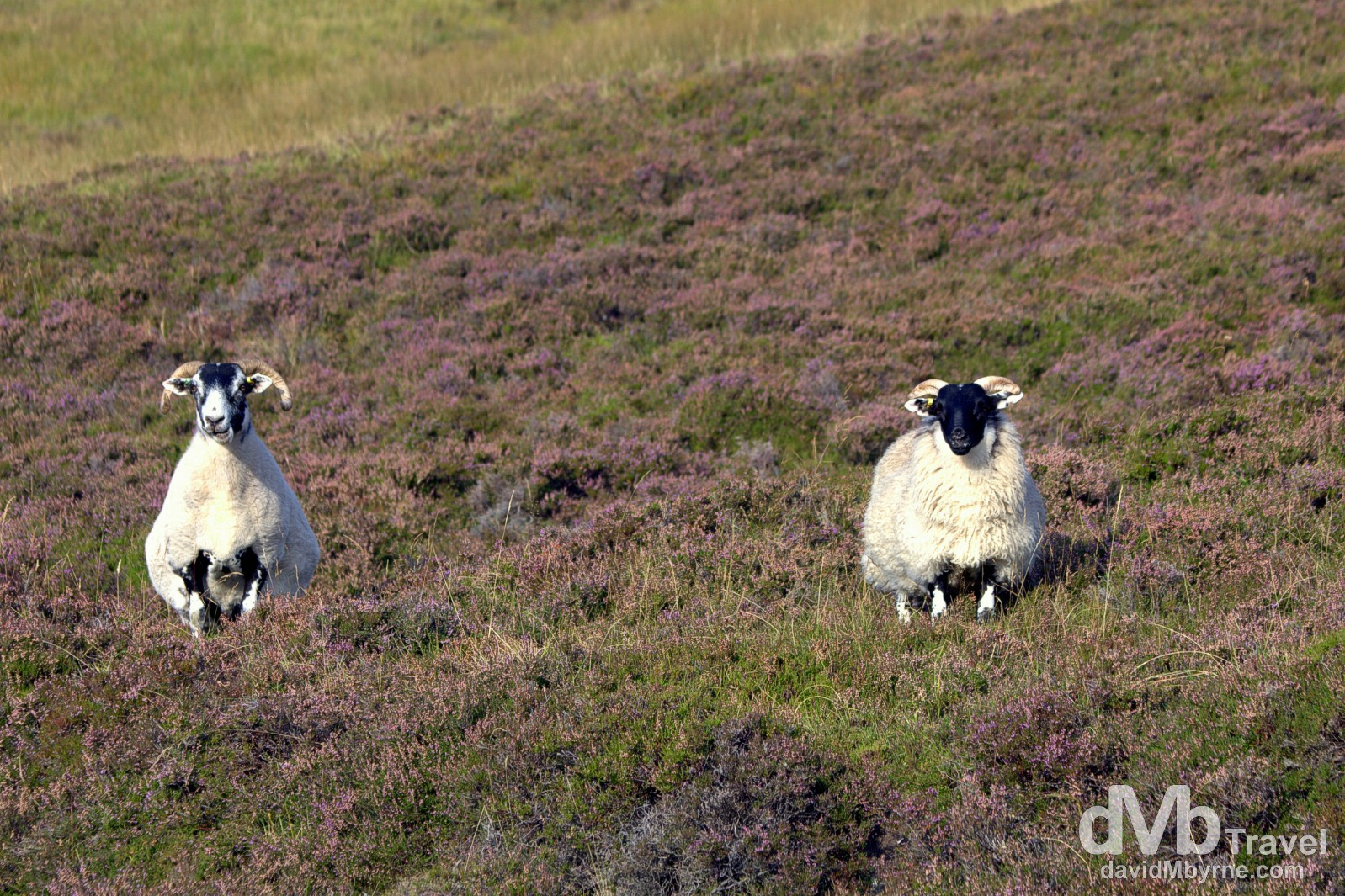 Interested bystanders. Sheep by the side of the road in Cairngorms National Park, Scotland. September 13, 2014.