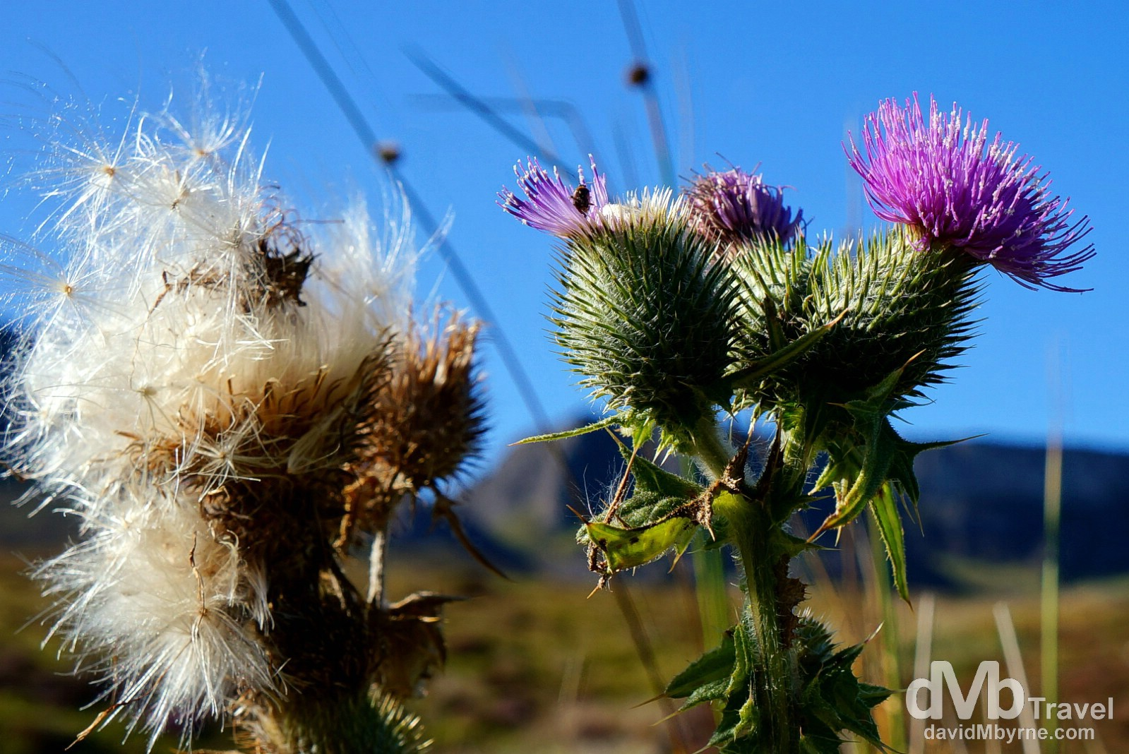 A thistle, a Scottish icon, at the tip of the Trotternish Peninsula on the Isle of Skye, Scotland. September 17, 2014.