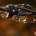 Dew drops, barbed wire & cobwebs at sunrise in Knockgroghery, Co. Roscommon, Ireland. November 20, 2010.