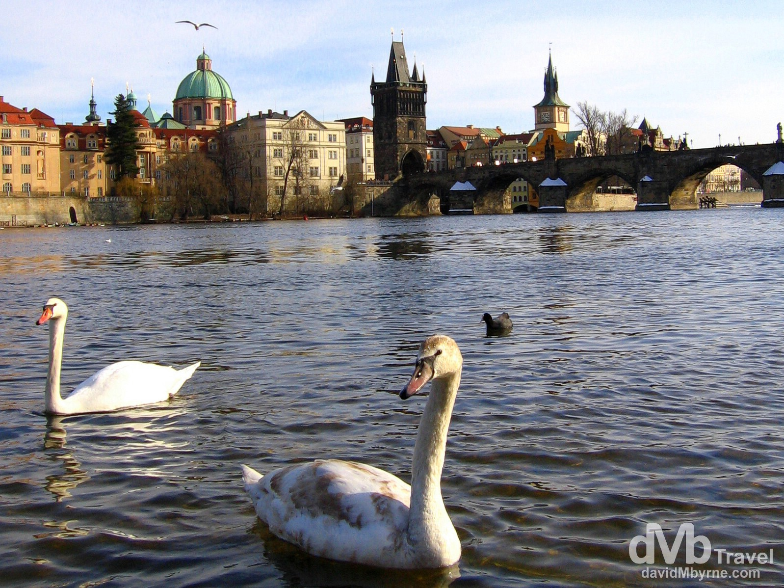 Swans on the west bank of the Vltava River fronting Charles Bridge in Prague, Czech Republic. March 8, 2006.